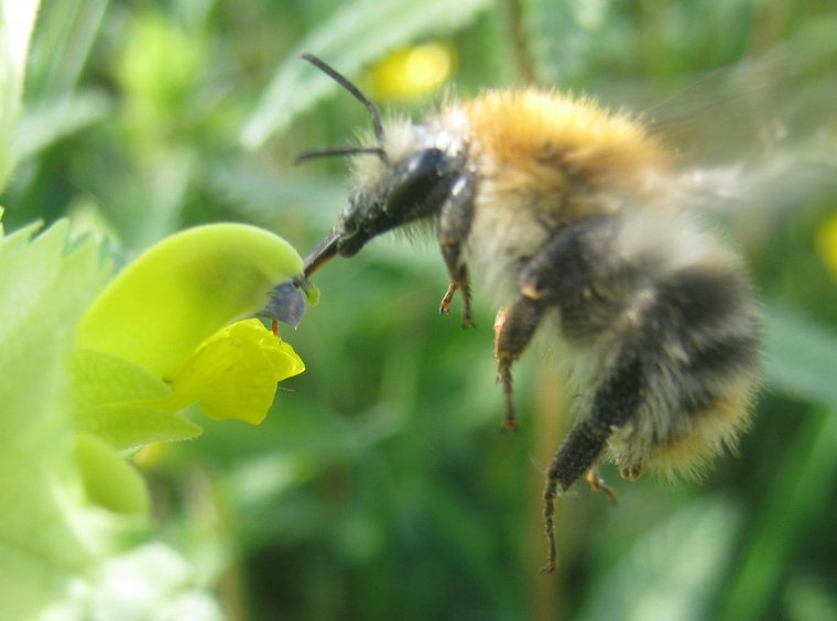 Bee drinks at blossom